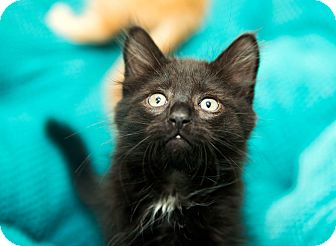 Domestic Mediumhair Kitten for adoption in Brownstown, Michigan - Fred