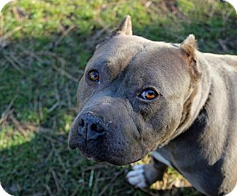 American Staffordshire Terrier Mix Dog for adoption in Tinton Falls, New Jersey - Merlot