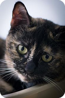 Domestic Shorthair Cat for adoption in Brooklyn, New York - Elsa