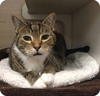 Domestic Shorthair Cat for adoption in St. Petersburg, Florida - Riley