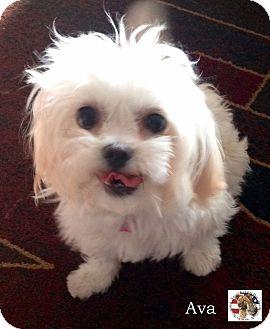 Maltese/Shih Tzu Mix Dog for adoption in Encino, California - Ava
