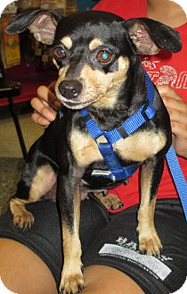 Miniature Pinscher Mix Dog for adoption in Humble, Texas - Daisy