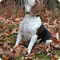Adopt A Pet :: Amy - Newport, VT