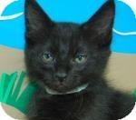 Domestic Shorthair Kitten for adoption in Bradenton, Florida - Neil