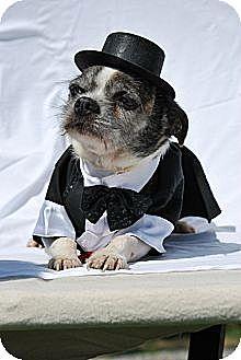 Boston Terrier/Maltese Mix Dog for adoption in Harrodsburg, Kentucky - Usher