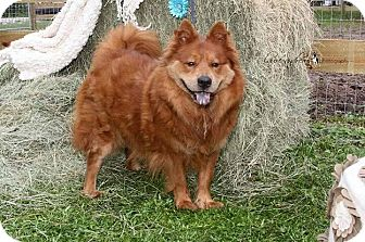 Chow Chow Mix Dog for adoption in Bunnell, Florida - Roddy