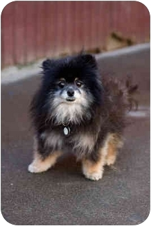 Pomeranian Dog for adoption in Portland, Oregon - Lady