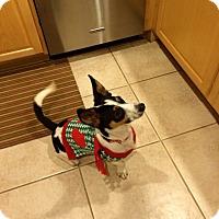 Adopt A Pet :: Jack - plano, TX