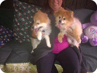 Pomeranian Dog for adoption in Suffolk County, New York - LLOYD & JOYCE - POMMIE PALS