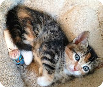 Calico Kitten for adoption in Putnam Hall, Florida - Misty