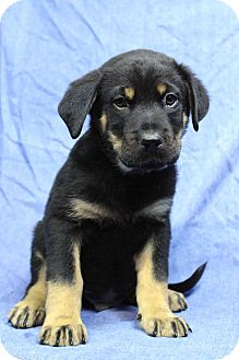 Shepherd (Unknown Type)/Australian Shepherd Mix Puppy for adoption in Westminster, Colorado - Tiegan