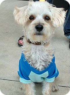 Yorkie, Yorkshire Terrier/Poodle (Miniature) Mix Dog for adoption in Winder, Georgia - Dixie