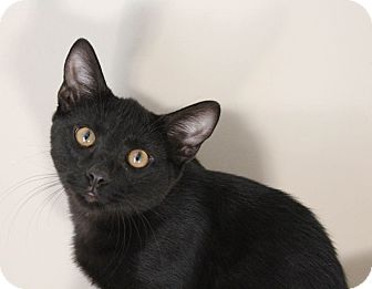 Domestic Shorthair Cat for adoption in Chattanooga, Tennessee - Pookie