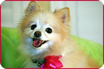 Pomeranian Dog for adoption in Dallas, Texas - Daisy