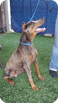 Doberman Pinscher Mix Dog for adoption in Gustine, California - SKY