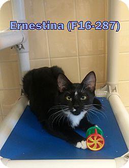Domestic Longhair Cat for adoption in Tiffin, Ohio - Ernestina