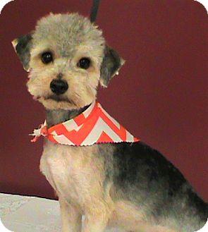Poodle (Miniature)/Shih Tzu Mix Dog for adoption in Maynardville, Tennessee - Ralphie