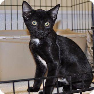 Domestic Shorthair Kitten for adoption in Sunrise Beach, Missouri - Clint Black