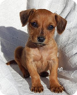 Dachshund/Border Terrier Mix Puppy for adoption in Niagara Falls, New York - Kimmy (1.5 lb) Video!