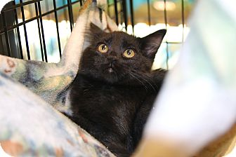 Domestic Shorthair Kitten for adoption in Rochester, Minnesota - Rosebud