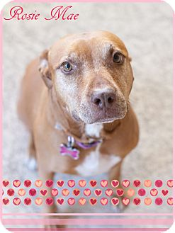Pit Bull Terrier Dog for adoption in Pittsburgh, Pennsylvania - Rosie Mae