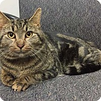 Adopt A Pet :: Bongo - Merrifield, VA