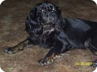 Cocker Spaniel Mix Dog for adoption in Winfield, Pennsylvania - Baby