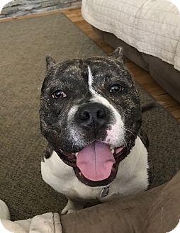 Bulldog/Boxer Mix Dog for adoption in Apex, North Carolina - Murphy