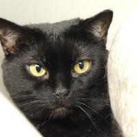 Adopt A Pet :: Midnight aka Petunia - Westville, IN