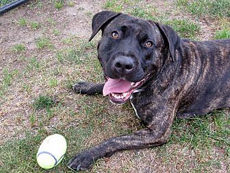 Pit Bull Terrier Mix Dog for adoption in Boston, Massachusetts - BRANDY