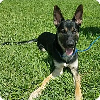 Adopt A Pet :: Elvis 0736 - Coral Springs, FL