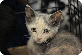 Calico Kitten for adoption in Richmond, Virginia - Olivia
