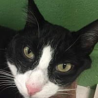 Domestic Shorthair Cat for adoption in Orlando, Florida - Oreo
