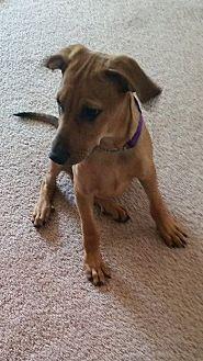 Retriever (Unknown Type)/Retriever (Unknown Type) Mix Dog for adoption in Olympia, Washington - Major