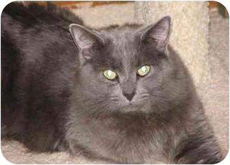 Domestic Mediumhair Cat for adoption in Sacramento, California - Caesar