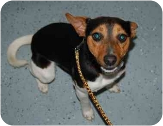 Rat Terrier Mix Dog for adoption in Statewide and National, Texas - Jackson