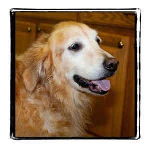 Golden Retriever Dog for adoption in Warren, Pennsylvania - Tori