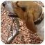 Photo 1 - Basset Hound Dog for adoption in Inman, South Carolina - Nellie