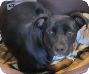 Shepherd (Unknown Type) Mix Dog for adoption in Kansas City, Missouri - Courtesy List-Reagan {Foster}