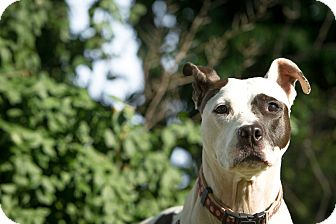 American Staffordshire Terrier/Jack Russell Terrier Mix Dog for adoption in Louisville, Kentucky - Patsy