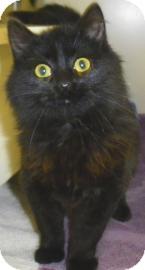 Domestic Longhair Cat for adoption in Lincolnton, North Carolina - Mu shu