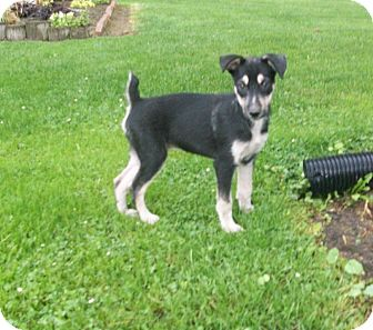 Husky/Feist Mix Puppy for adoption in Liberty Center, Ohio - Morgan