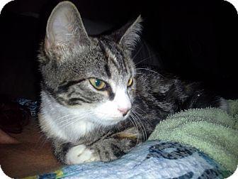 Domestic Shorthair Kitten for adoption in Randolph, New Jersey - Roxy