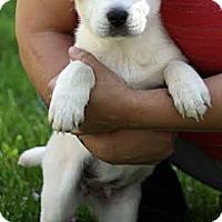Adopt A Pet :: Snowflake - South Jersey, NJ
