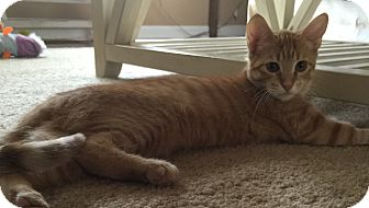 Domestic Shorthair Kitten for adoption in Palatine, Illinois - Polly (polydactyl)