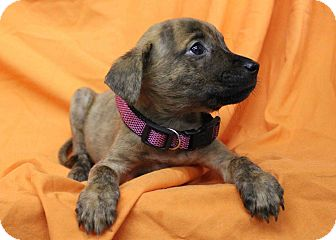 Boxer/Shepherd (Unknown Type) Mix Puppy for adoption in Westminster, Colorado - Butterfinger