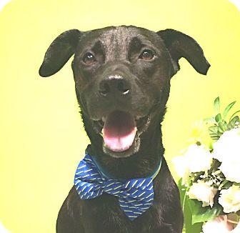Labrador Retriever Mix Dog for adoption in Castro Valley, California - Rudi