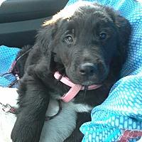 Adopt A Pet :: Baby Rocky - Marlton, NJ