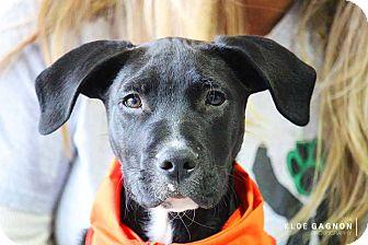 Labrador Retriever/Great Dane Mix Puppy for adoption in Pierrefonds, Quebec - Dozer