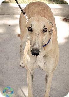 "Greyhound Dog for adoption in Gainesville, Florida - Fraser aka ""CRT Ron Fraser"""